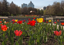 Red and yellow tulips in the city Royalty Free Stock Image