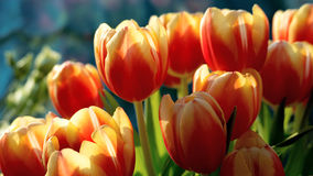 Red and yellow tulips. A close up of red and yellow tulips Stock Photography