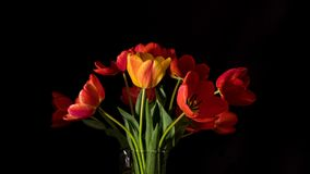Red and yellow tulips close up on black surface. 4k UltraHD video time-lapse footage stock video