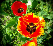 Red and yellow tulips , close up with blurred field background Stock Images