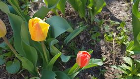 Red and yellow tulips close up in the field. 4k UltraHD video footage stock video footage
