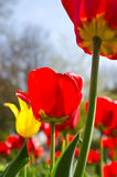Red and yellow tulips. Close-up image of red and yellow tulips Stock Images