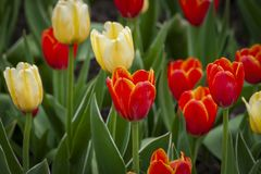 Red and yellow tulips as a background. stock image