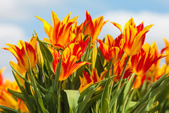 Red with yellow tulips on a Dutch farm field Royalty Free Stock Photography