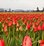 Red and yellow tulips on a farm in Skagit Washington Royalty Free Stock Photos