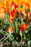 Red with yellow tulips in a field Stock Images