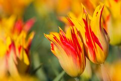 Red with yellow tulips in a field Royalty Free Stock Photo