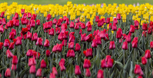 Red and yellow tulips. Field of red and yellow tulips Royalty Free Stock Photography