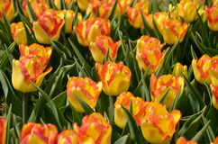 Red and yellow tulips. In a field in Holland, Michigan Stock Photo