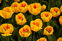 Red and yellow tulips. In a field in Holland, Michigan Stock Image
