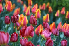 Red and yellow tulips in the field stock image