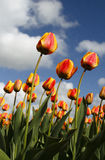 Red Yellow Tulips. In the fields Royalty Free Stock Image