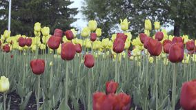 Red and yellow tulips on a flower bed. Red and yellow tulips grow on a flower bed in a city park stock video