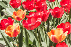 Red and yellow tulips on a flower bed with a sunny day. royalty free stock photos