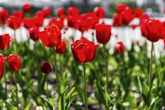 Red and yellow tulips on the flower garden Royalty Free Stock Photo