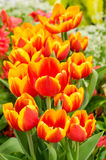 Red and yellow tulips in flower Royalty Free Stock Photos