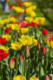 Red and yellow tulips on a flowerbed in the garden. Royalty Free Stock Photo