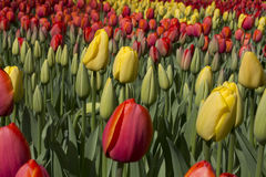 Red and yellow tulips. Flowering red and yellow tulips in a flowerbed Royalty Free Stock Photos