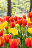 Red and yellow tulips flowers Royalty Free Stock Images