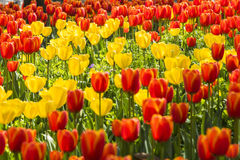 Red and yellow tulips flowers Royalty Free Stock Image