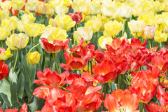 Red and yellow tulips flowers Stock Image