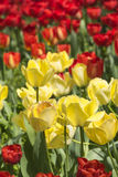 Red and yellow tulips flowers Stock Images