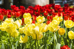 Red and yellow tulips flowers Stock Photography