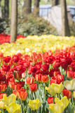 Red and yellow tulips flowers Royalty Free Stock Photography