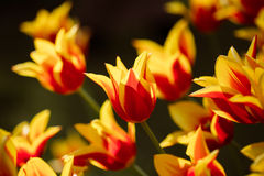 Red and Yellow Tulips Flowers In Spring Garden Flower Bed Stock Image