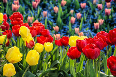Red and yellow tulips and forget-me-not flowers planted in the p Stock Photos