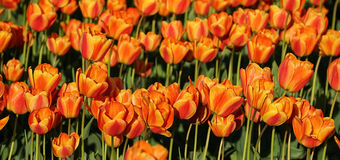 Red and yellow tulips front row Royalty Free Stock Photography