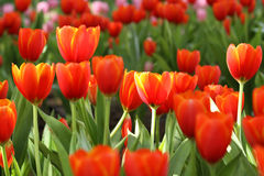 Red and yellow tulips. Garden Stock Image