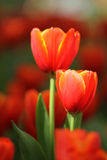 Red and yellow tulips. Garden Stock Photo