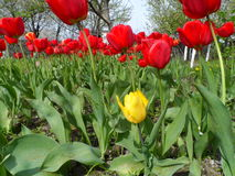 Red and yellow tulips. In the garden Stock Image