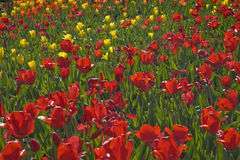 Red and Yellow Tulips in a Garden Stock Photo