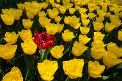 Red and yellow tulips garden. Yellow tulips in bloom Royalty Free Stock Image