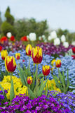Red and Yellow Tulips in Garden of Flowers Stock Photo