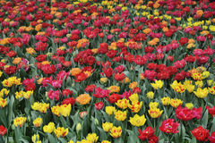 Red and yellow tulips Stock Photography
