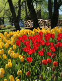 Red and yellow tulips in garden park Stock Image