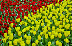 Red and yellow tulips in garden Royalty Free Stock Photos