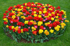 Red and yellow tulips garden Stock Photography