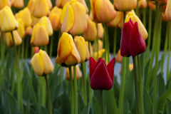 Red and yellow tulips in garden Stock Image