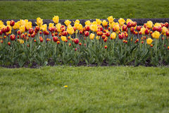 Red Yellow Tulips in Grass Field. Flower bed garden of tulips in grass meadow Royalty Free Stock Photos