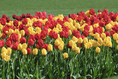Red and yellow tulips growing outside Royalty Free Stock Image
