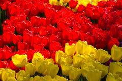 Red and yellow tulips of Holland. Spring flowering of tulips, hundreds of bright colors on flowers in the park. Kiev, Ukraine Royalty Free Stock Photo