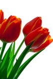 Red with yellow tulips. Isolated on white Royalty Free Stock Photos