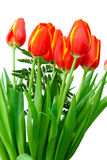 Red with yellow tulips. Isolated on white Stock Photography