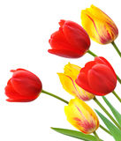 Red and yellow tulips isolated on white background Stock Images
