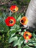 Red-yellow tulips. Near tree Royalty Free Stock Photos