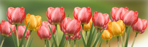 Red and yellow tulips panorama Stock Image